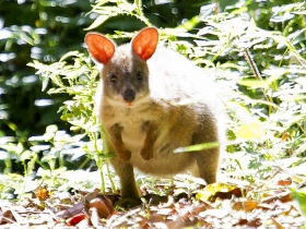 Red-necked Pademelon.