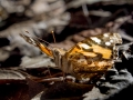 Australian Painted Lady.