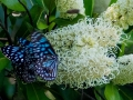 Blue Tigers Tirumala hamata on Ivory Curl Flower during week of butterfly movement.