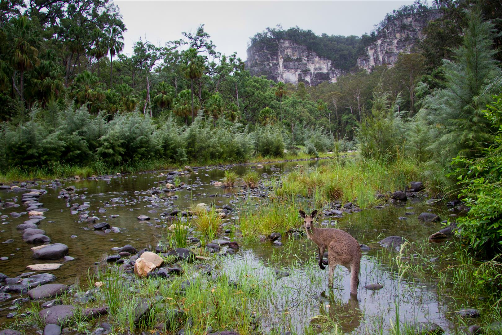 An Eastern Grey Kangaroo enjoys the creek-side cool