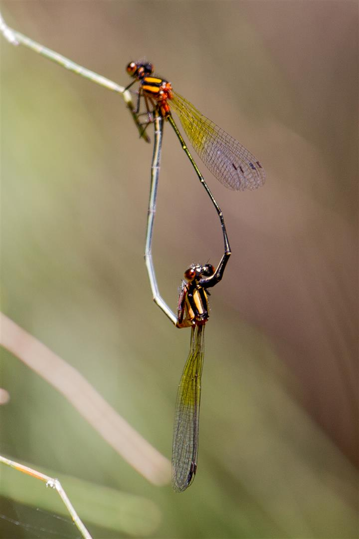 Orange Threadtails (damselflies)