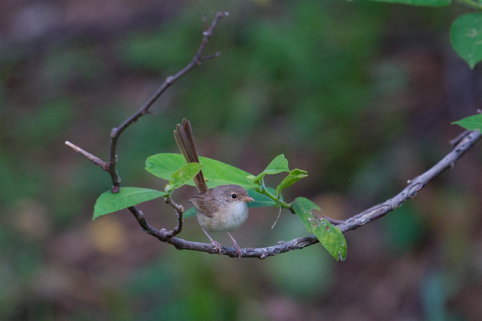 Fairy Wren on sandpaper fig