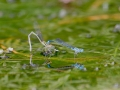 Common Bluetails (damselflies)