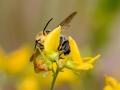Native bee seeks nectar