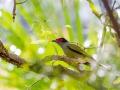Male Figbird in full splendour