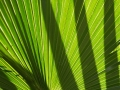 Carnarvon Fan-palms
