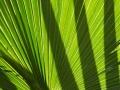 Carnarvon Fan-palms