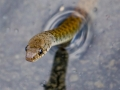 Freshwater (Keelback) Snake seeks tadpoles or frogs for a meal.