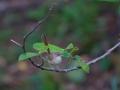 Fairy Wren on sandpaper fig