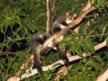 Yellow-bellied Gliders