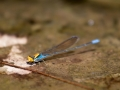 Gold-fronted River Damsel