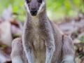 Pretty-face (Whiptail) Wallaby