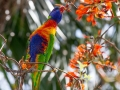 Rainbow Lorikeet in a Bat's Wing Coral Tree