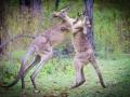 Grey Kangaroos wrestling