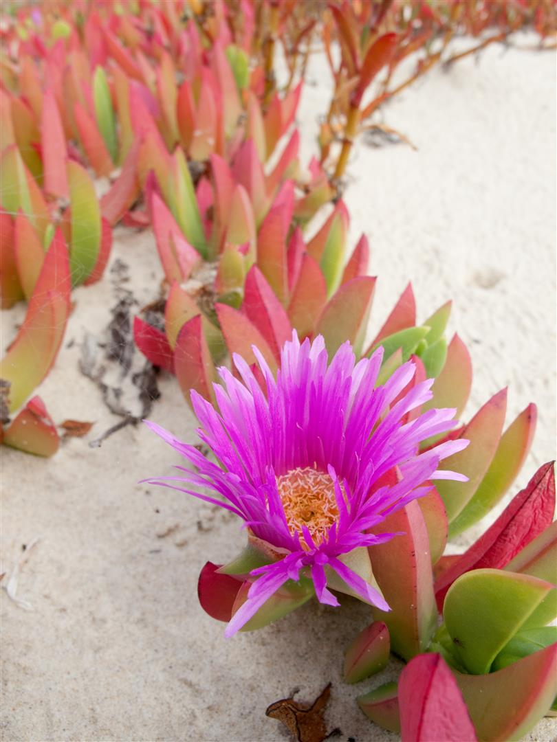 Pigface, Flinders Beach