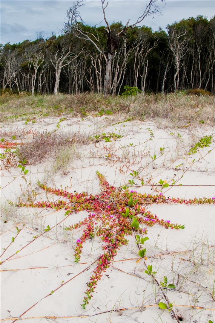 Vegetation stabilising coastal dune habitat - Flinders Beach.