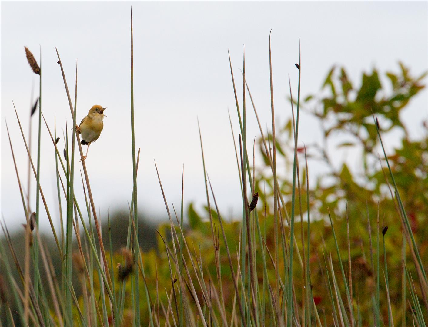 Golden-headed Cisticola, Eighteen Mile Swamp