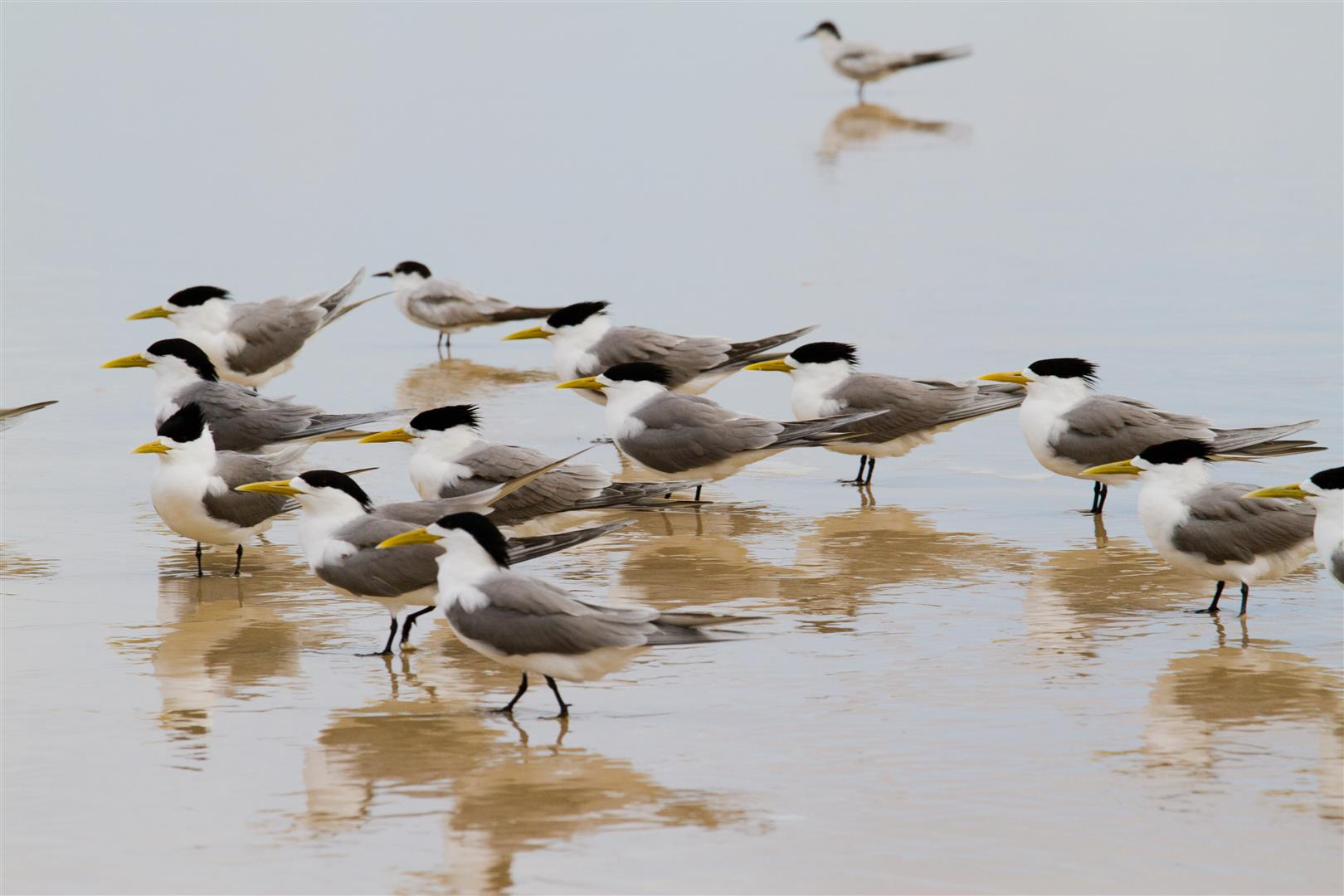 Crested Terns, Main Beach
