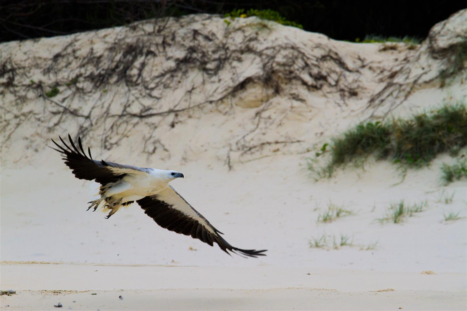 White-bellied Sea Eagle, Main Beach