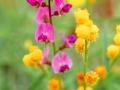 Mount Moffatt wildflowers.