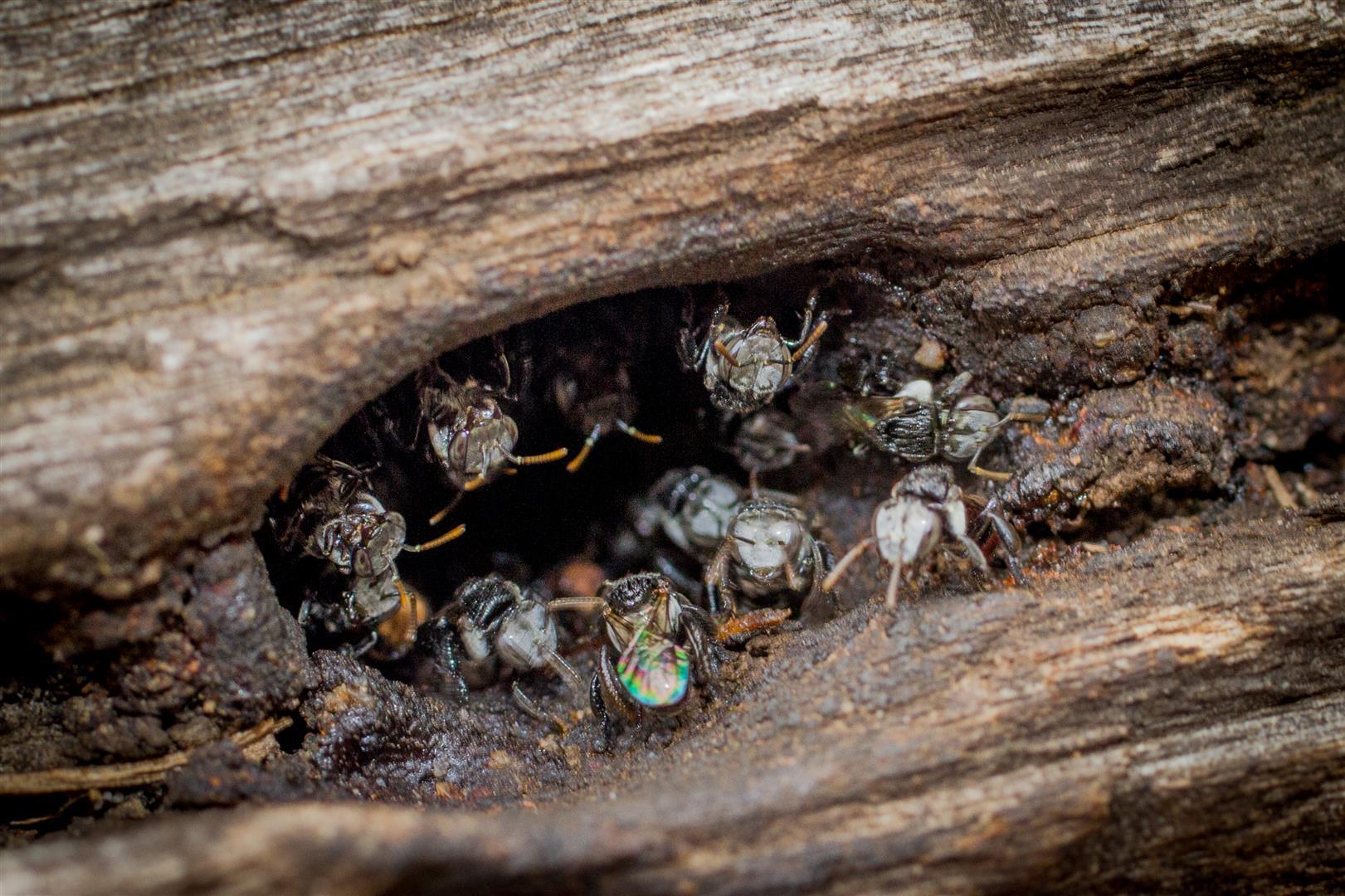Stingless Bees(Trigona sp.), Carnarvon National Park.