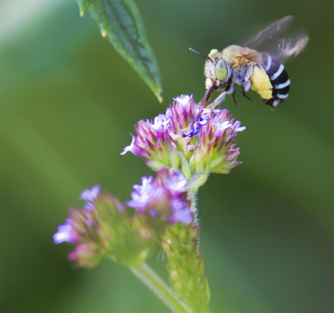 Blue-banded Bee (Amegilla sp.), Rockmount.
