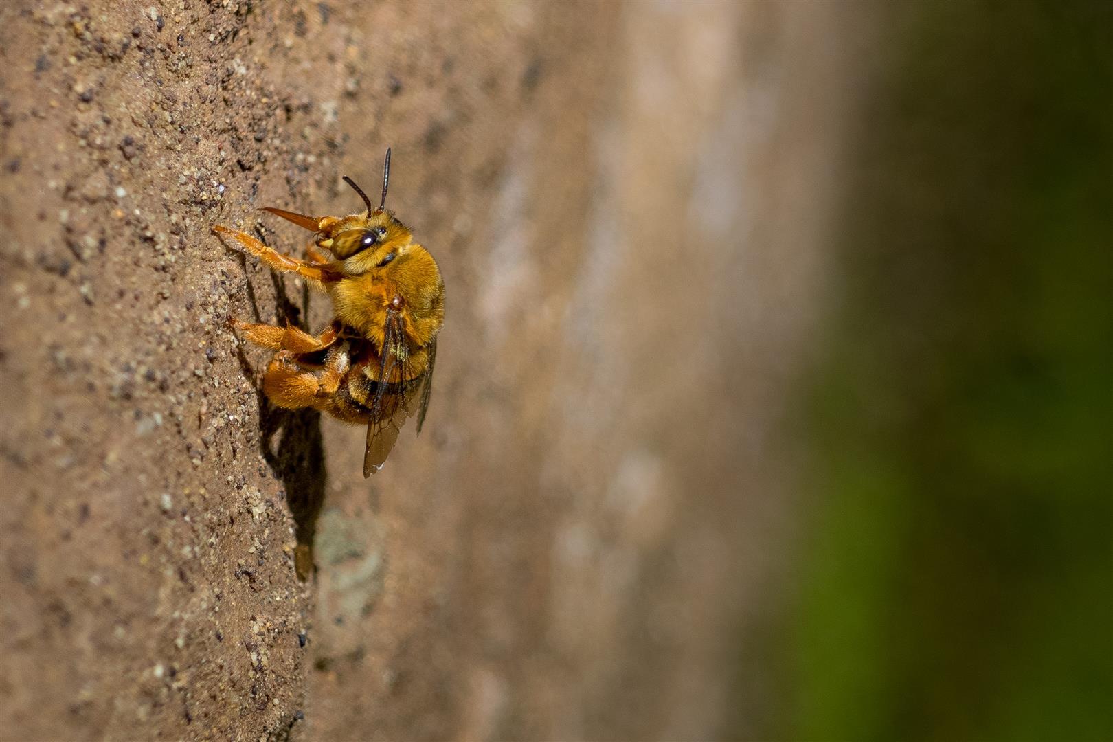 Teddy Bear Bee (Amegilla sp.), Redwood Park, Toowoomba.