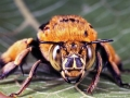 Blue-banded Bee (Amegilla sp.), Lota.