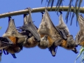 Grey-headed Flying Foxes, Pteropus poliocephalus.