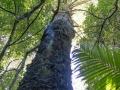 A Hoop Pine cuts through the palms.