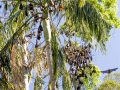 The park provides a much-needed safe refuge for a colony of Grey-headed Flying Foxes, Pteropus poliocephalus.