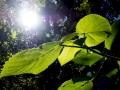 Giant Stinging Tree leaves.