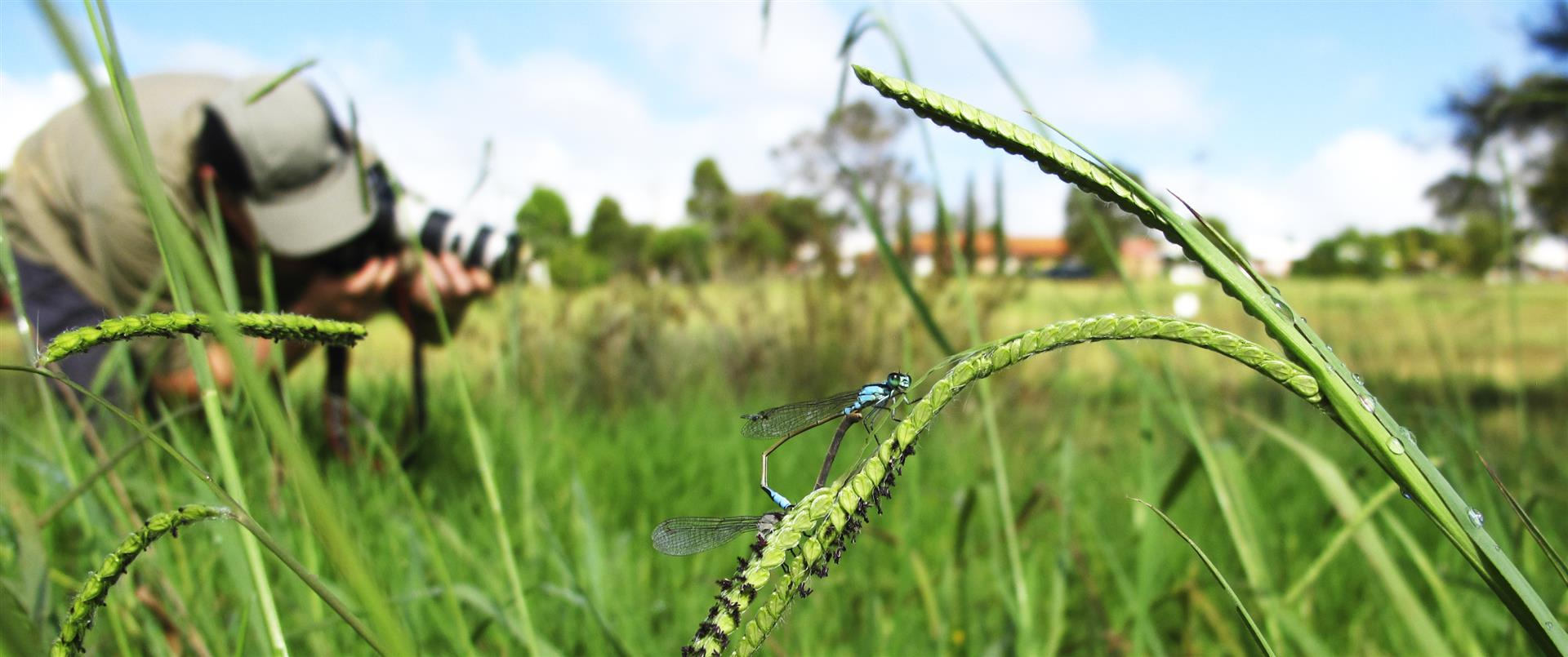Photographing Common Bluetails (Ischnura heterosticta), Toowoomba. Photo H. Ashdown.