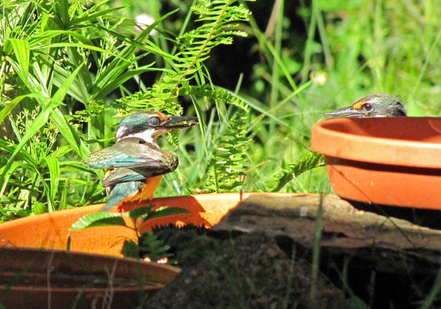 Sacred Kingfishers at bird bath