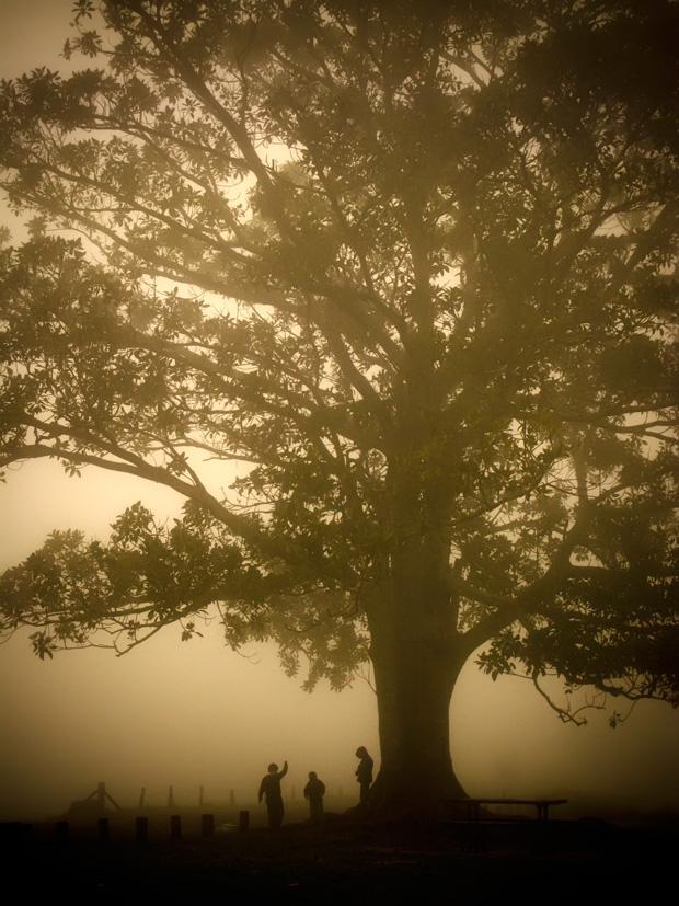 Fig tree in mist, Ravensbourne NP