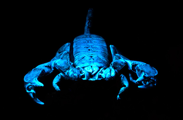 a8eb8a5d4b97 Black rock scorpion under UV light