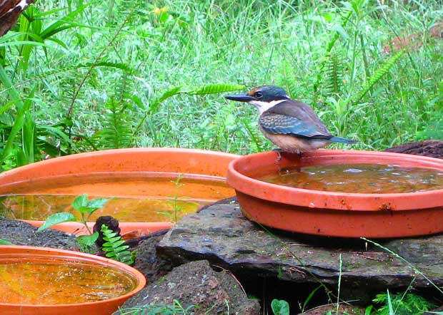 Sacred Kingfisher at birdbath