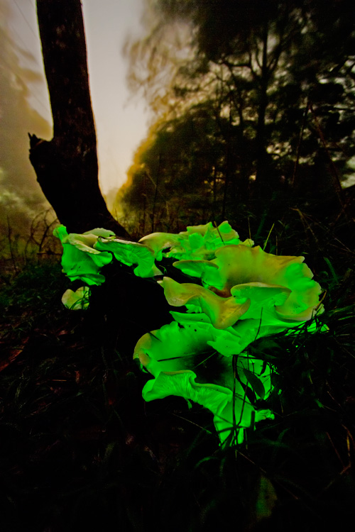 Ghostly Ghost Fungus on stormy night. Exposure - F something, count to maybe 200. Photo by Harry and Robert Ashdown.