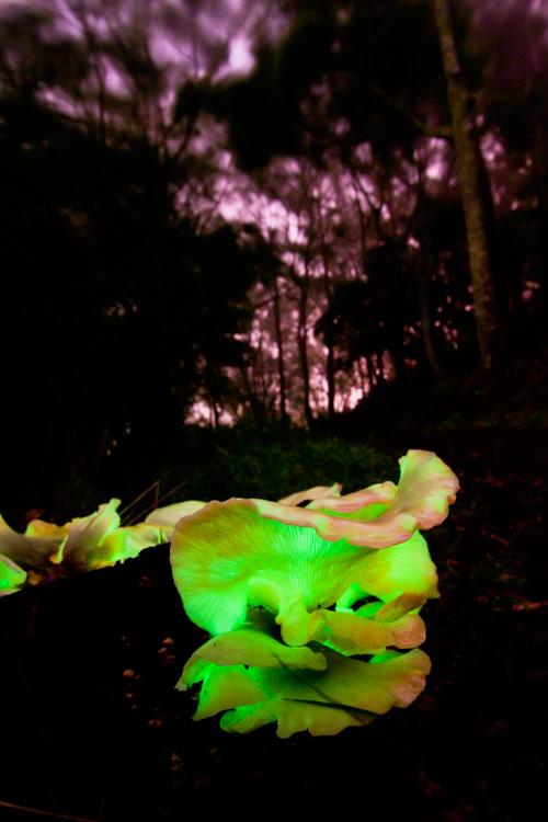 Ghost Fungus, again. Spooky. Photo Robert and Harry Ashdown.