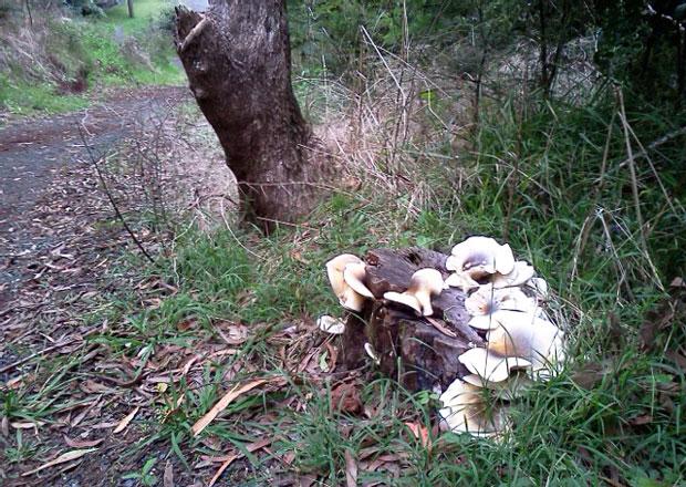 Ghost fungus, April 2011