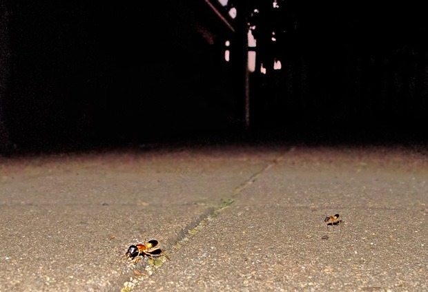 Banded Sugar Ants