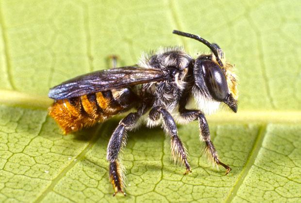 MASON-BEE