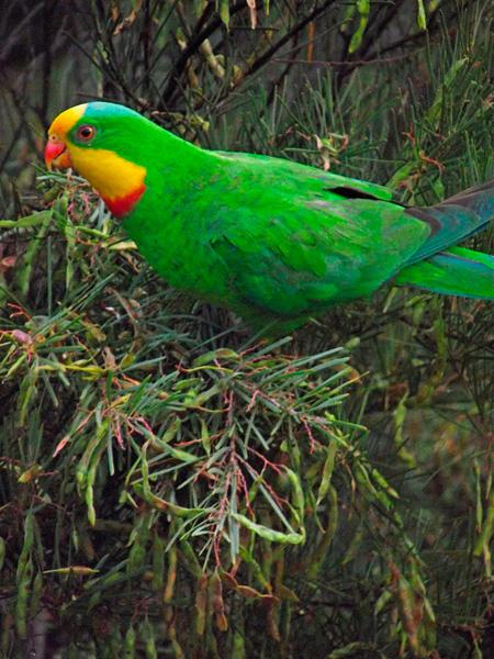 Superb-parrot-Canberra