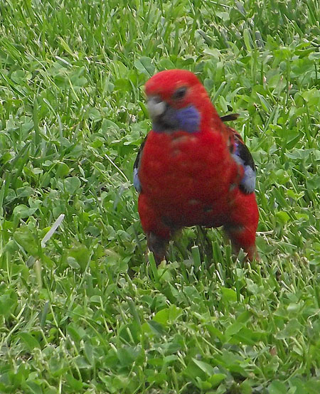 Crimson Rosella, Canberra