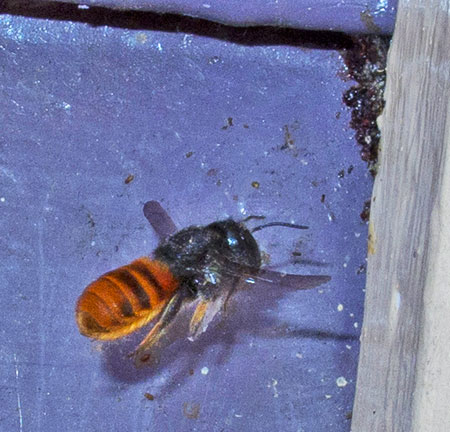 fire-tailed-resin-bee- 4