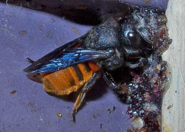 fire-tailed-resin-bee- 7