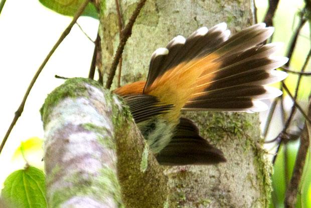 Rufous Fantail, Goomburra NP
