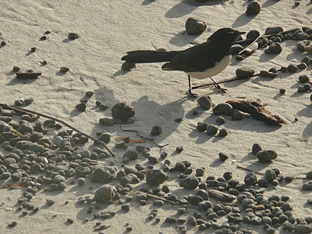 Willy Wagtail, Stradbroke Island. Photo copyright Michael Hines.