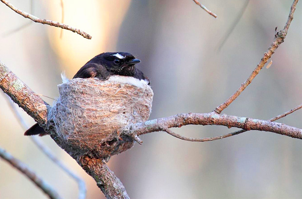 Wiilie Wagtail parent on nest.