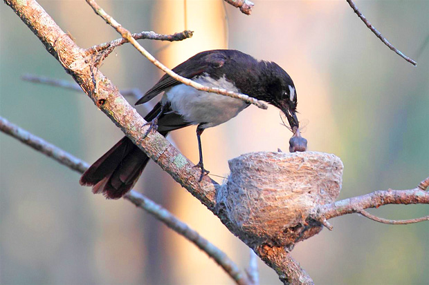 Willie wagtail feeding young.